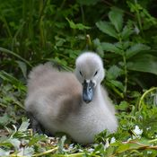 Cygnet's at Ambleside Park, West Vancouver, BC