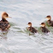 Hooded Merganser and her three ducklings