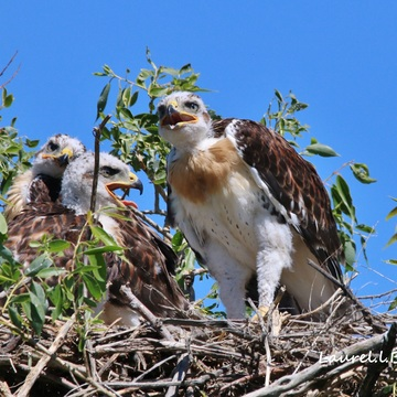Young Hawks
