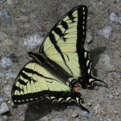 Canadian Tiger Swallowtail ( Papilio canadensis) ♂