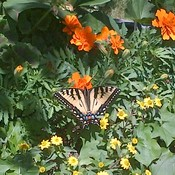 Butterflies posing for pictures