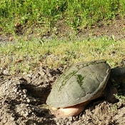 Mother turtle getting ready to lay her eggs.