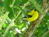 American Goldfinch - Regina, SK