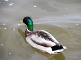 Duck - Dunnville, ON