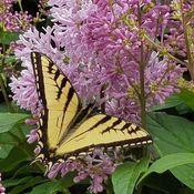 Monarch in the lilac