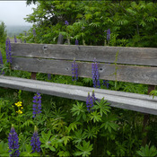 Lupin bench, Elliot Lake.