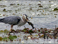 Heron lunch, Elliot Lake. - Elliot Lake, ON