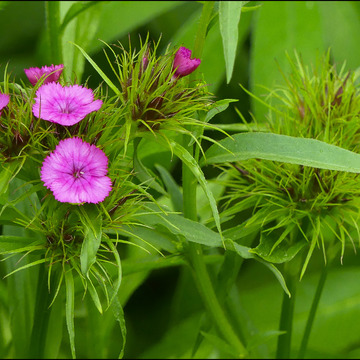 Pink wild flowers, Elliot Lake.