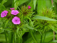 Pink wild flowers, Elliot Lake. - Elliot Lake, ON