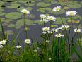 Daisies, Elliot Lake. - Elliot Lake, ON
