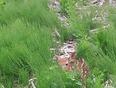 Bambi laissé seul au champ  - Saint-Pierre-les-Becquets, QC