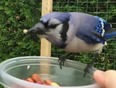Friendly Blue Jay - Sault Ste. Marie, ON, CA