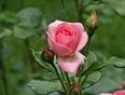 Rose rose...