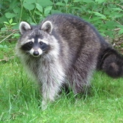 Raccoon Comes For a Visit
