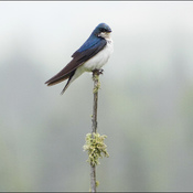 Swallow, Elliot Lake.