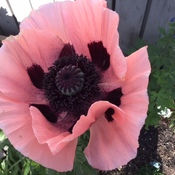 Beautiful Pink Poppy