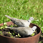 Pair of Eurasian Collared Doves