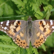 Painted Lady Roosting