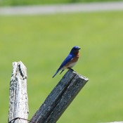 Blue bird sitting on our fence
