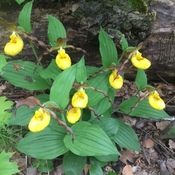 A cluster of 8 beautiful lady slipper orchids at White Lake, ON