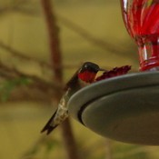 Ruby throated hummingbird pair