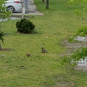 ducks at school