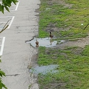 ducks at school 2