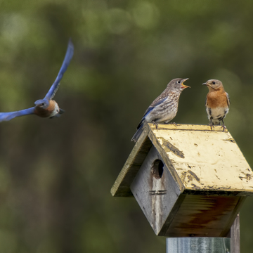 Eastern Bluebird Family