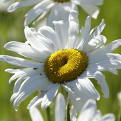 Daisies - the Summer Time symbols