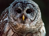 Barred Owl - Hornepayne, ON