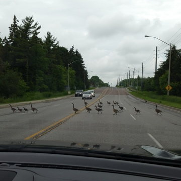 Stopping traffic on Bayview Avenue.