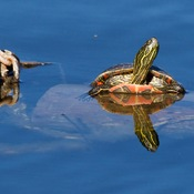 Painted turtle and Spider.