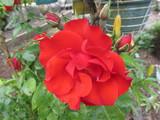 rose & peony - Surrey, BC