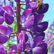 Bee on a Lupin