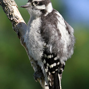 Fluffy Juvenile Downy Woodpecker