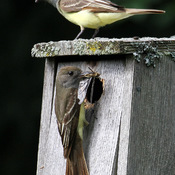 Pair of Great Crested Flycatchers