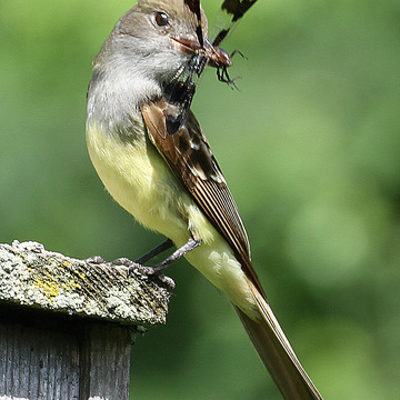 Great Crested Flycatcher with dragonfly in beak