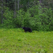 Grazing Black Bear