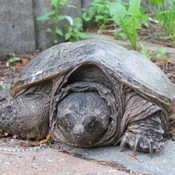 The Lost Snapping Turtle