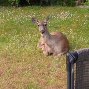 Mamma Deer On My Back Yard