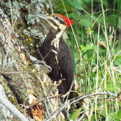 pilleated woodpecker