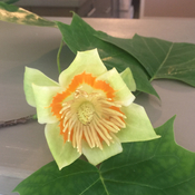 Have you ever seen a tulip tree?