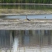 Heron in Copperfield