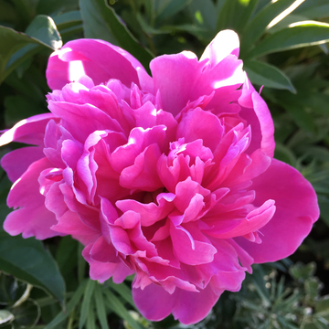Peonies in the garden