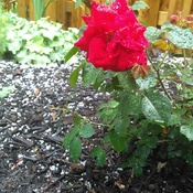 Rose After the Storm