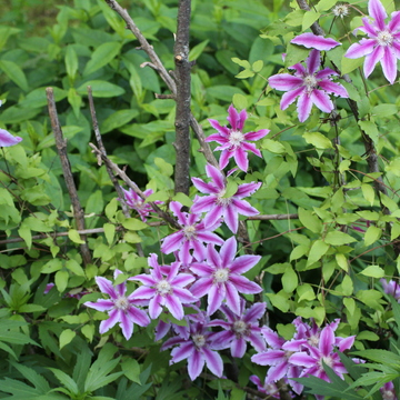 Clematis bloom array