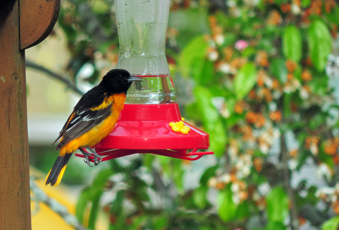 ~ Oriole visits hummer feeder ~ Owen Sound, ON