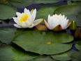 Wet lilies, Elliot Lake. - Elliot Lake, ON