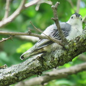 Juvenile Nuthatch & Mom