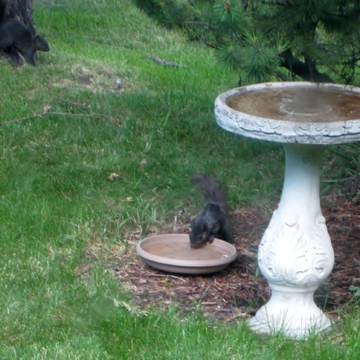 Thirsty squirrel.